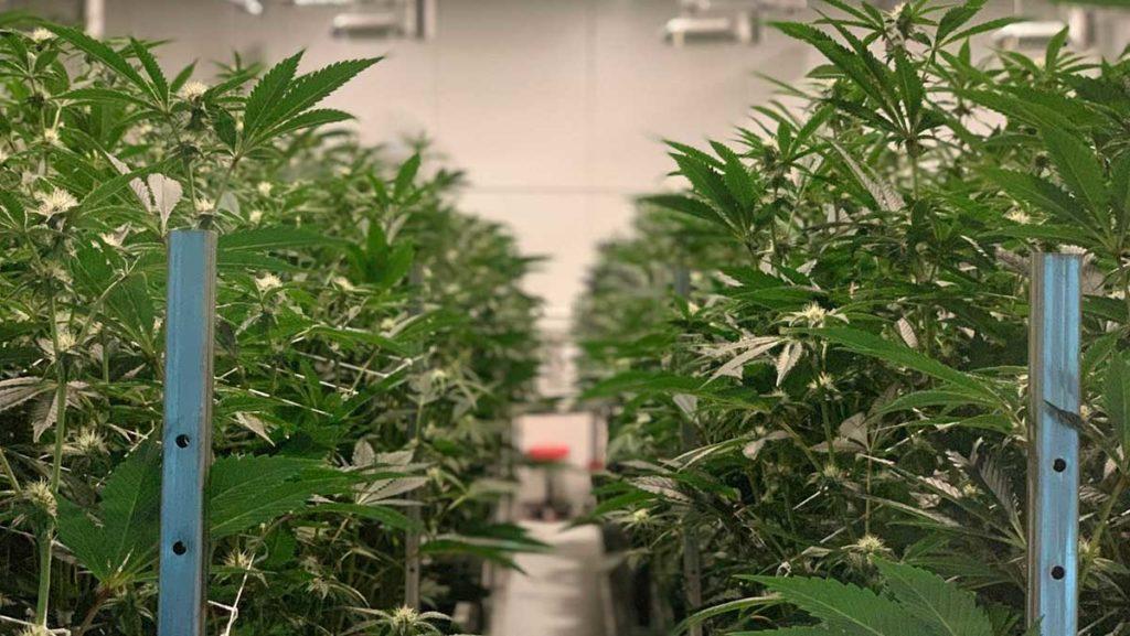 industrial cannabis grow house
