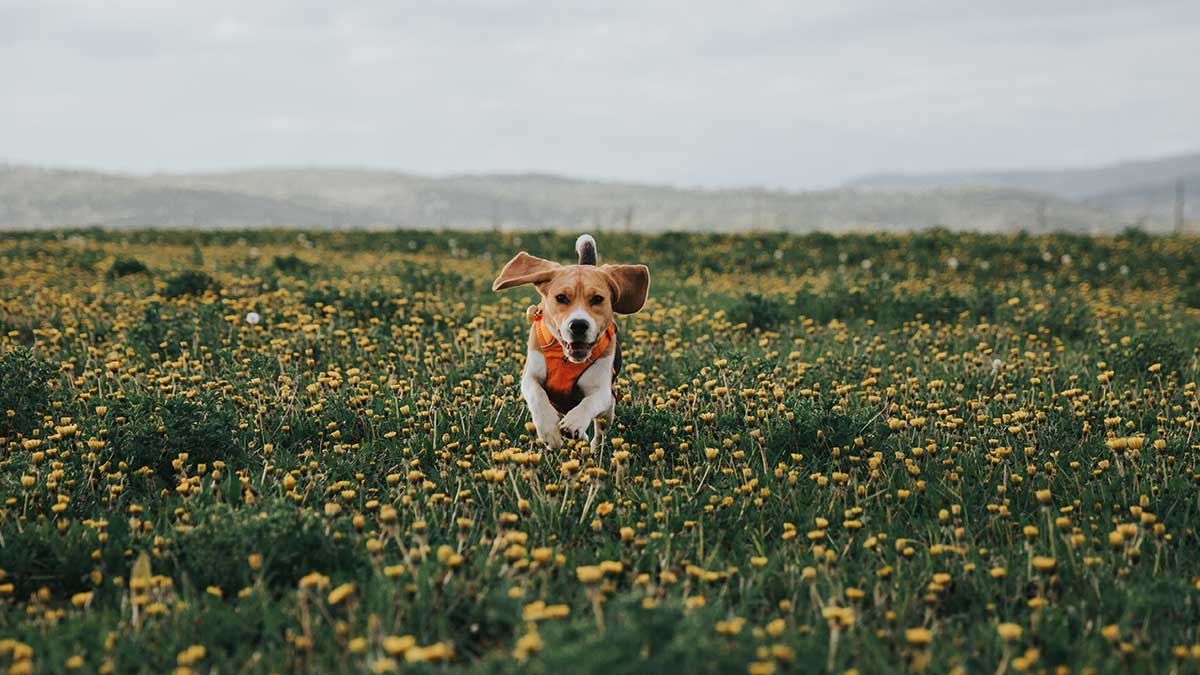 Healthy Roots CBD for Medium Dogs cbd oil for pets