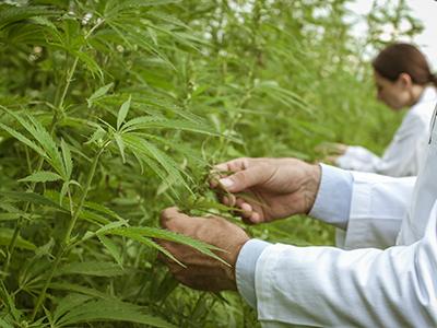 Healthy Roots Hemp Cannabis Hemp Inspection