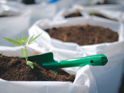 Healthy Roots Hemp Growing Hemp Clone in Dirt
