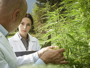 Healthy Roots Hemp Testing Hemp Field